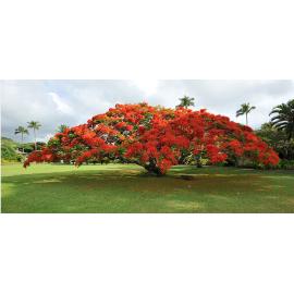 بذر درخت پینکیانا سلطنتی