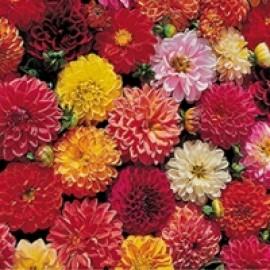 بذر گل کوکب درجه یک