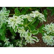 بذر گل Euphorbia