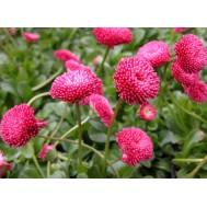 بذر گل مینا چینی چند رنگ
