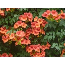بوته گل رونده پیچ اناری (Trumpet vine)