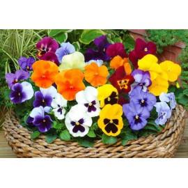 بذر گل بنفشه چند رنگ مخلوط