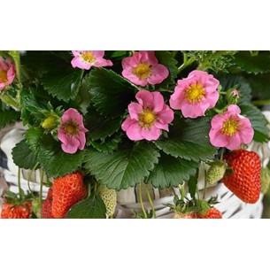 بذر توت فرنگی توسکانا Toscana strawberry