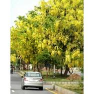 بذر درخت گل فلوس زرد