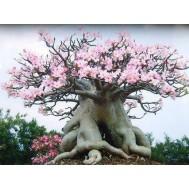 بذر گل آدنیوم صورتی