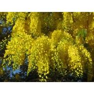 بذر درخت کاسیا جوانیکا طلایی