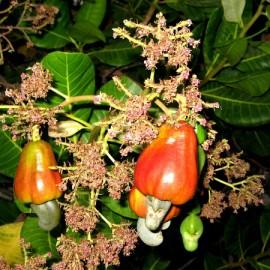 بذر بادام هندی قرمز