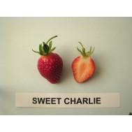 بذر توت فرنگی سوییت چارلی
