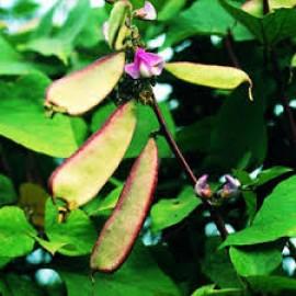 بذر لوبیا ویجینا سیلیندریکا سیاه