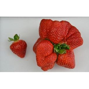 بذر توت فرنگی غول آسا strawberry giant
