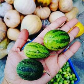 بذر هندوانه ابوجهل Citrullus Colocynthis