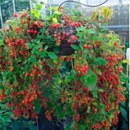بذر گوجه کارنت