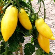 بذر گوجه موزی زرد