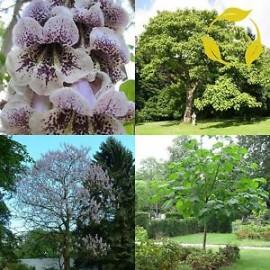 بذر درخت پالونیا کاتالاپیفولیا