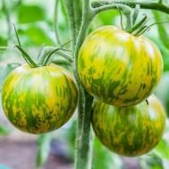 بذر گوجه سبز گورخری
