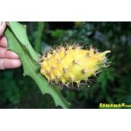 نهال دراگون فروت زرد خاردار مالزی