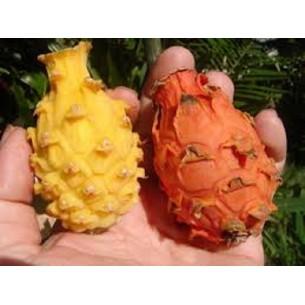 بذر دراگون فروت داخل نارنجی
