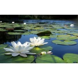بذر لوتوس سفید ویتنامی