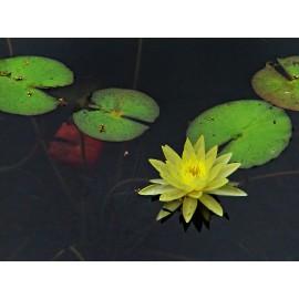 بذر لوتوس زرد تایلندی