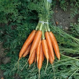 بذر هویج Nantes