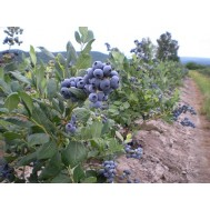 بذر بلوبری اسپانیا