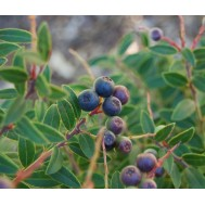 بذر بلوبری کاستاریکا  -  COSTA RICAN BLUEBERRY