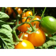 بذر گوجه گالاپاگوس