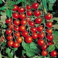 بذر گوجه چری گیلاسی سوییت