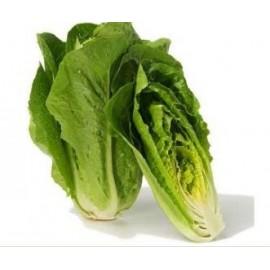 بذر کاهو Lettuce