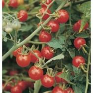 بذر گوجه گیلاسی فرانسوی