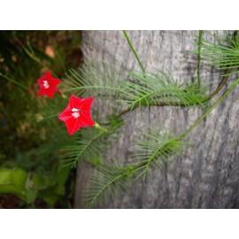 بذر گل سرو تاک (Cypress vine)