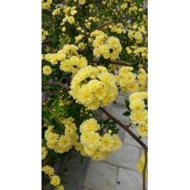 نهال گل رز آبشاری زرد