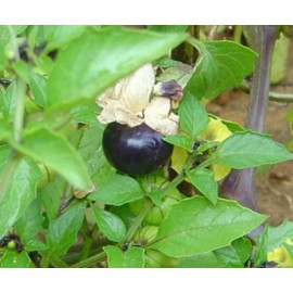 بذر فیسالیس بنفش (purpel physalis tomatillos)