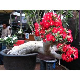 بذر گل آدنیوم قرمز