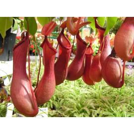 بذر گیاه گوشت خوار کوزه ای قرمز