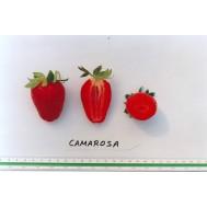 بذر توت فرنگی كاماروسو