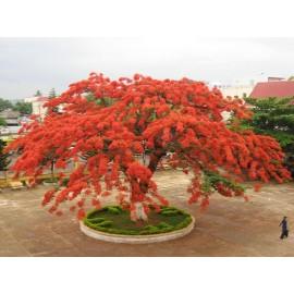 بذر درخت زینتی جاکاراندا قرمز
