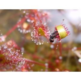 بذر گیاه گوشتخوار دروزرا گونه-فیلی فورمیس قرمز
