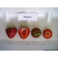بذر توت فرنگی پاجرو - تعداد 10 عدد