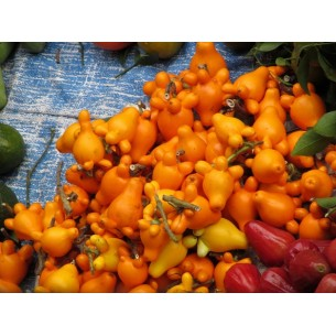 بذر میوه پستو.نکی