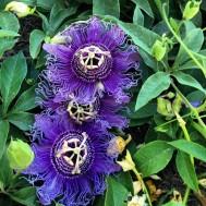 بذر گل ساعت آبی با میوه آبی