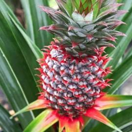 نهال آناناس زینتی ساحل عاج