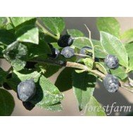 بذر قره قات  -  CAUCASIAN WHORTLEBERRY