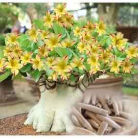 بذر آدنیوم زرد ( Yellow Adenium )
