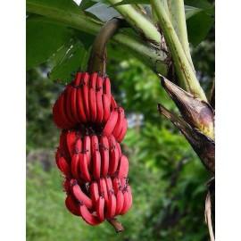 بذر موز قرمز داکا