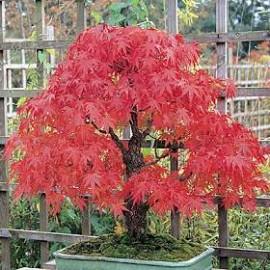 بذر درخت افرا پالماتوم دیسکویو (Japanese maple)