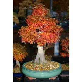 بذر درخت افرا پالماتوم شیشیگاشیرا (Cutleaf Japanese maple)