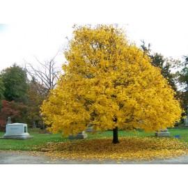بذر درخت افرای چناری