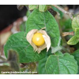 بذر انگور فرنگی محلی