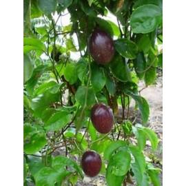 بذر پشن فروت ایدولیس (passion fruit edulis)